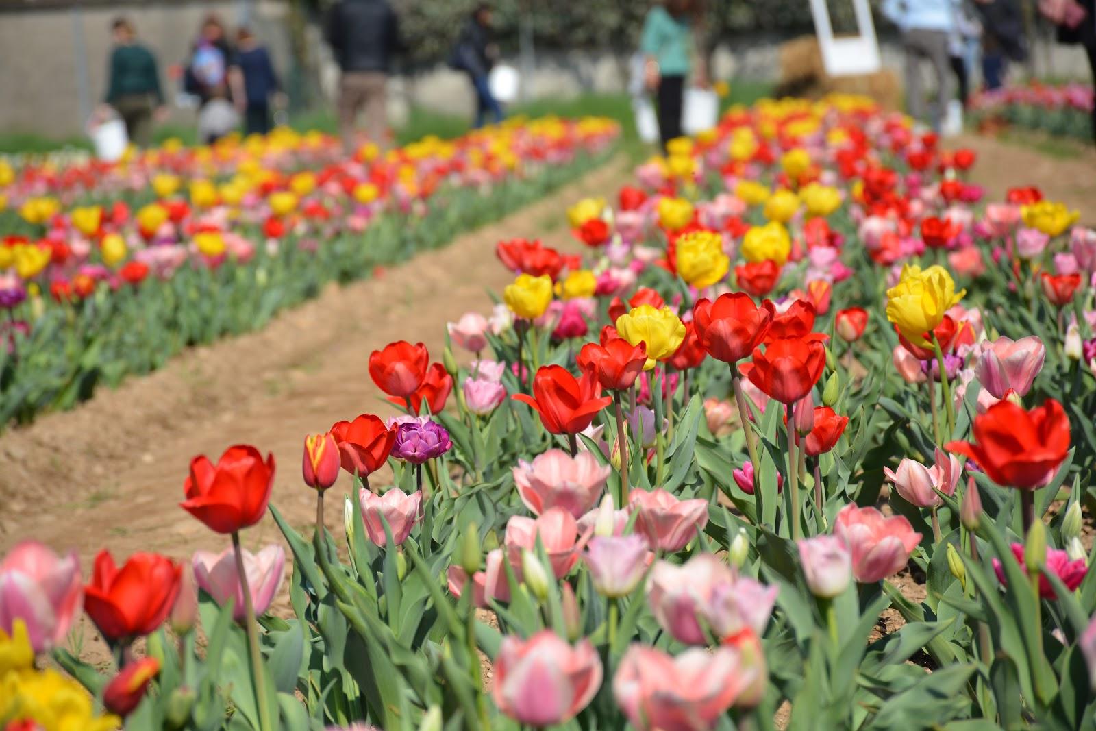 L 39 olanda sbarca a cornaredo il primo campo di tulipani in for Tulipani italiani