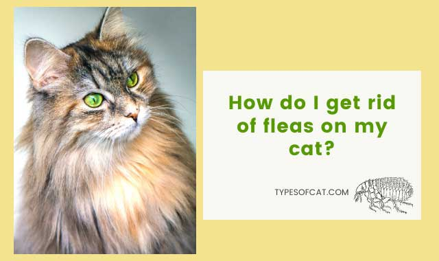 How do I get rid of fleas on my cat