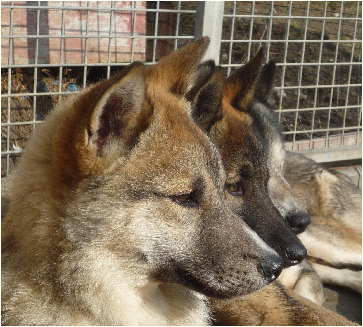 irischer wolfshund kaufen bayern