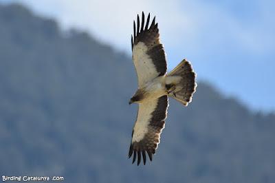 Àguila calçada de morfo clar
