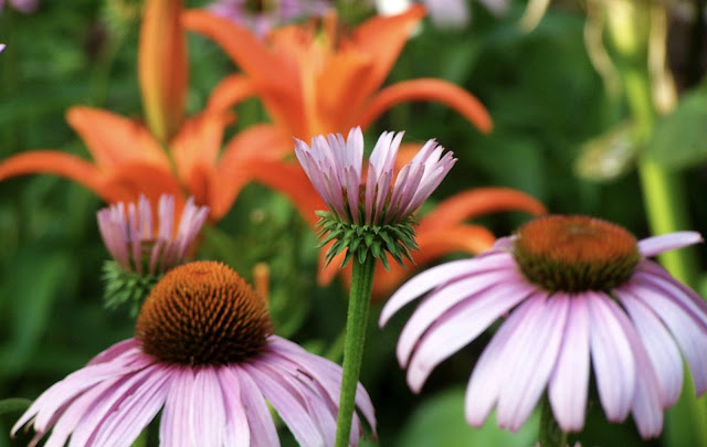 Echinacea purpurea (purple coneflower) grows with orange 'Enchantment' lilies