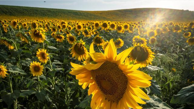 Ciri Ciri Bunga Matahari