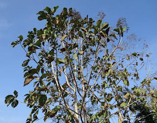 teak-tree,www.healthnote25.com
