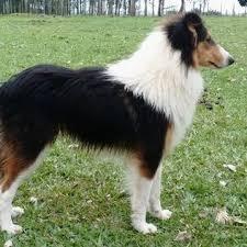 cão ovelheiro gaúcho