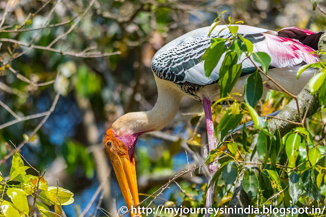 Ranganathittu Birds Painted Stork