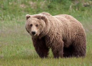 تفسير مشاهدة الدب في حلم الرجل