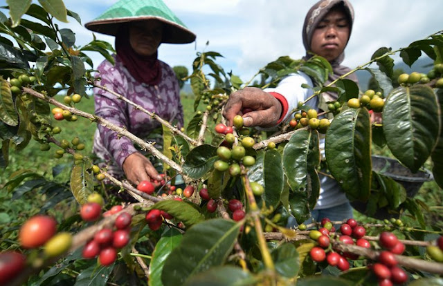 Otten Coffee Bantu Petani Kopi Indonesia