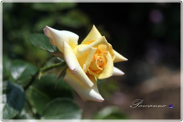 róże w ogrodzie, róże pachnące, Rapsody in Blue roses, róże angielskie, Mary Ann roses, roses, Symphatie roses, English roses