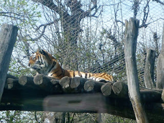 tigru siberian