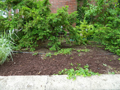 Riverdale Summer Front Garden Cleanup After by Paul Jung Gardening Services--a Toronto Organic Gardening Company