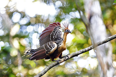 The living hoatzin has some things in common with the extinct Archaeopteryx. It has many characteristics that defy evolutionary ideas and affirm special creation.