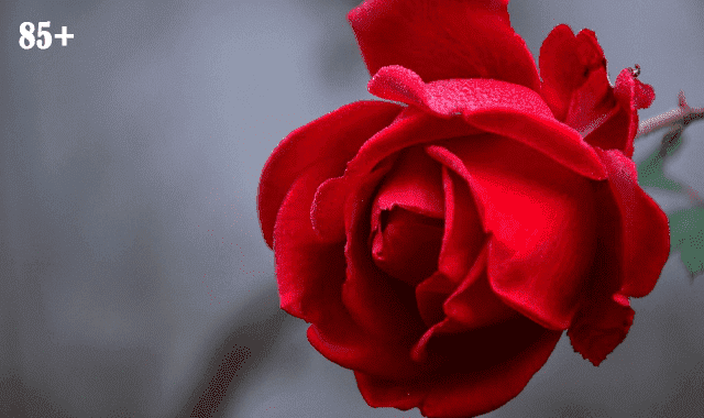 Happy rose day images for love