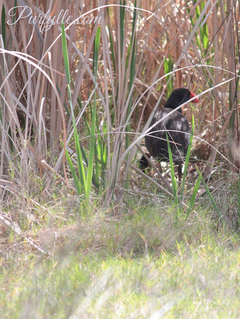 swamphen hiding her chick in the rushes