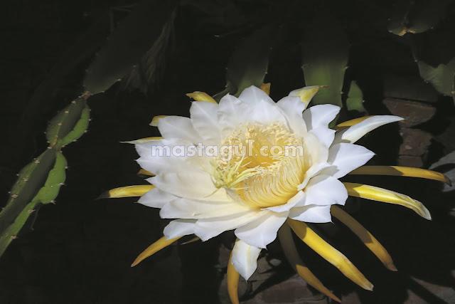Tanaman Bunga Hias Epiphyllum Cactus