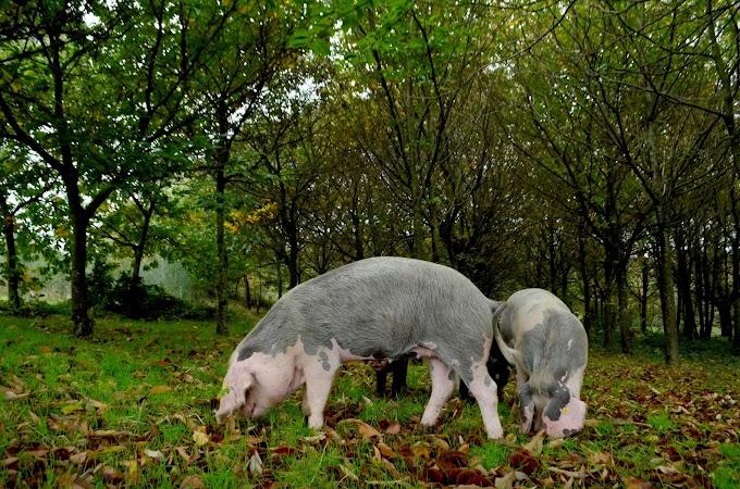 Porco Celta