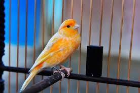 Tips Merawat Burung Kenari agar Tetap Hidup