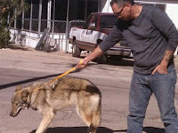 Dikira Anjing, Pria Ini Tak Sengaja Pelihara Serigala