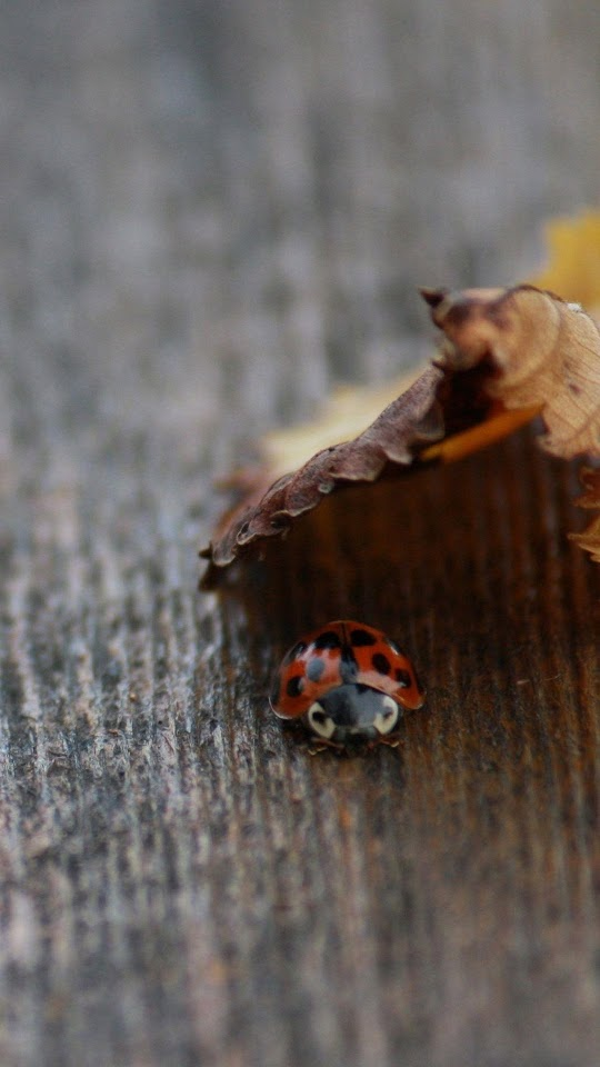 Ladybug Under Leaf  Galaxy Note HD Wallpaper