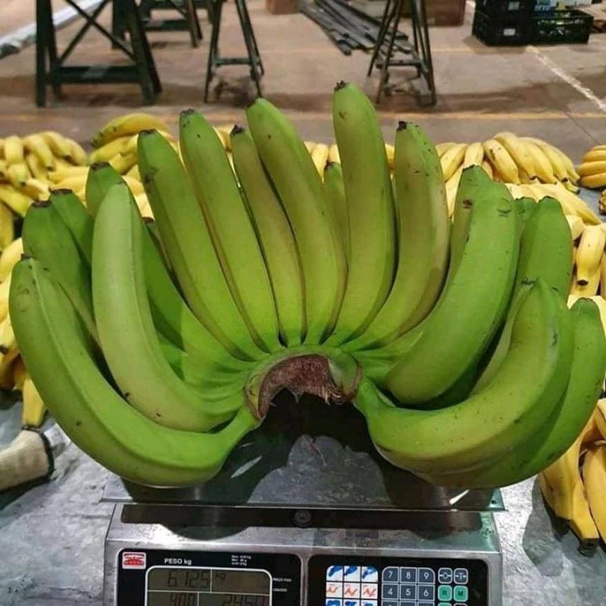 Bibit pisang unggul cavendish cj40 bonggol anakan dongkelan WISATA AGROTANI Jakarta