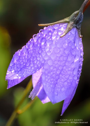 Harebell. Copyright © Shelley Banks, all rights reserved