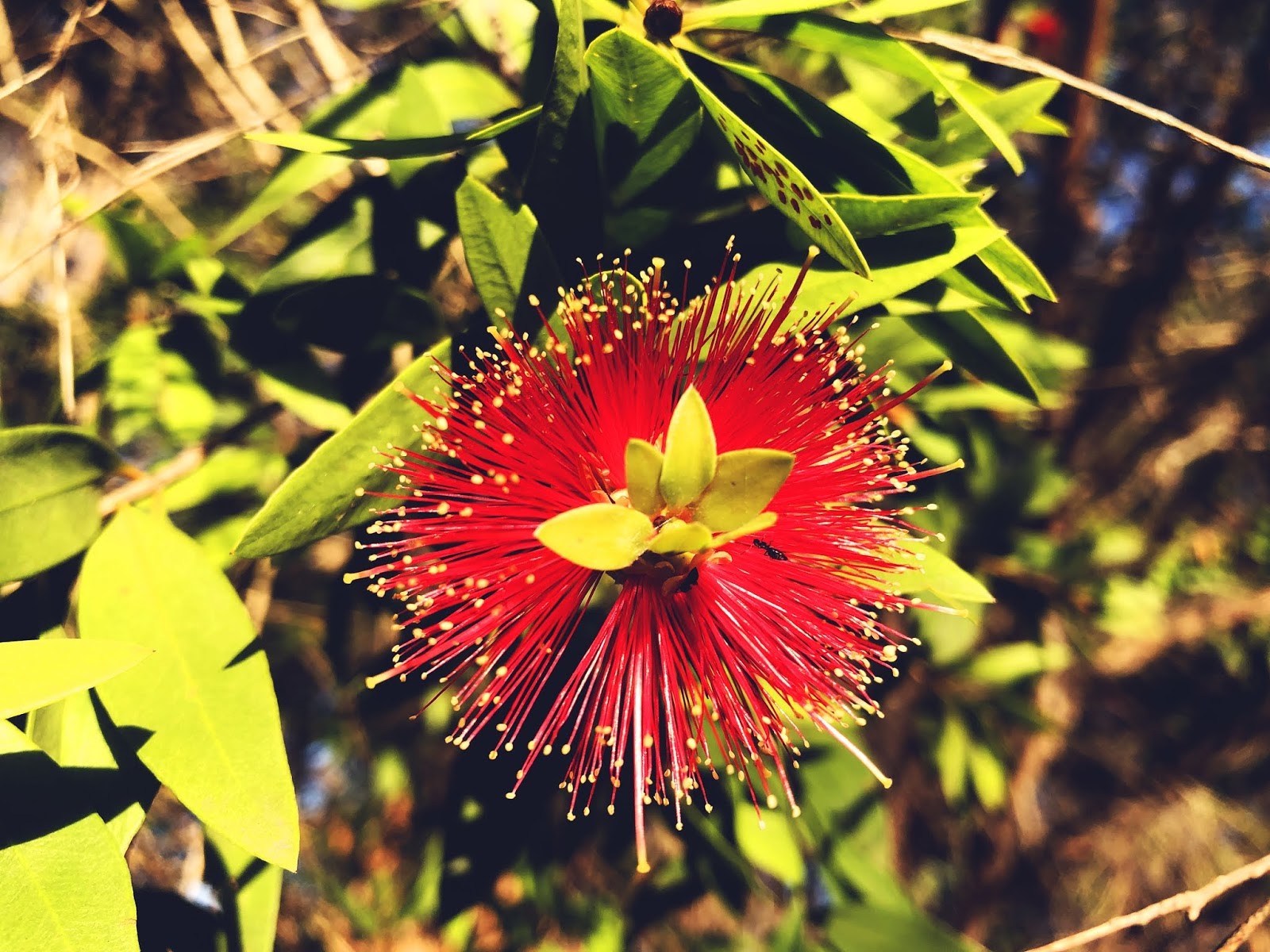 Kwiat w Bundaberg Botanic Park