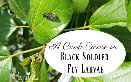 My Trip to Texas A&M and a Crash Course in Black Soldier Fly Larvae