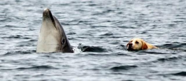 Ежедневно этот лабрадор спешит на пристань, чтобы поплавать в заливе со своим другом! Видео