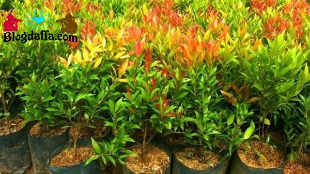 Cara menanam pucuk merah dari biji