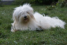 Cute Coton de Tulear dog