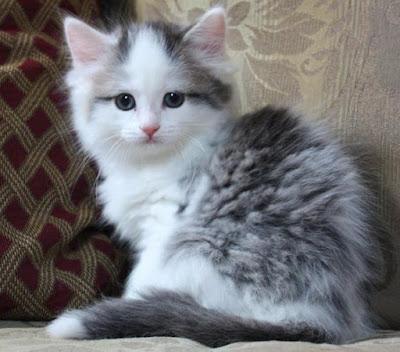 kitten ragamuffin