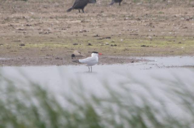 Caspian Tern, Potter Heigham, Norfolk - 14th June 2020
