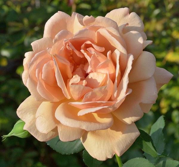 Cafe сорт розы фото