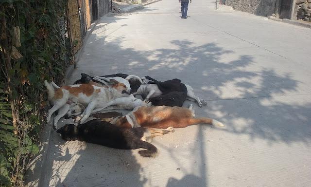 Poisoned dogs San Marcos la Laguna Guatemala