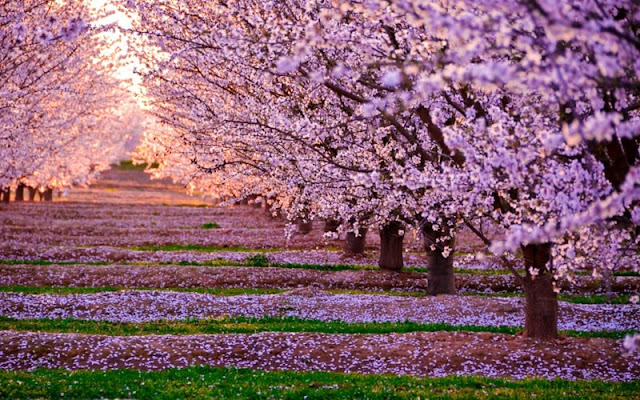 Chùm ảnh đẹp Hoa Anh Đào Nhật Bản vào tháng 02/2020 10
