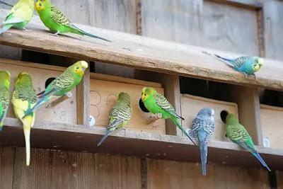 أسس نجاح تربية طيور البادجي ( الأسترالي ) التوكل و تجهيز المكان