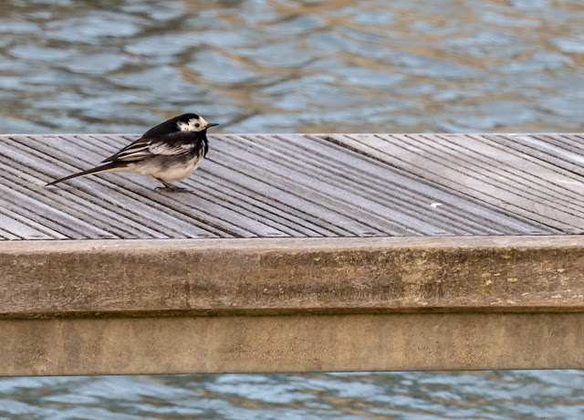 Photo of a young pied wagtail sitting on a pontoon at Maryport Marina