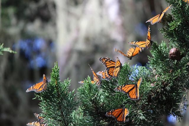 Monarch%2Bbutterfly%2Boverwintering.jpg
