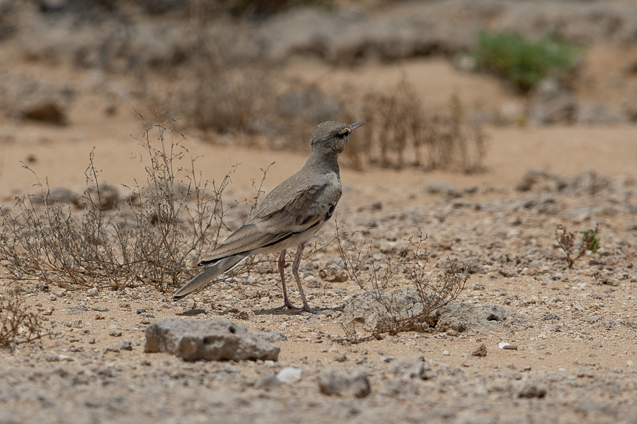 Greater Hoope-lark