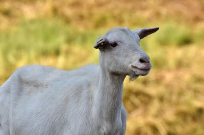 बकरियों ने वीडियो कॉल करके कमाए 50 लाख रुपये ! किसान ने निकाला कमाल का बिजनेस आइडिया