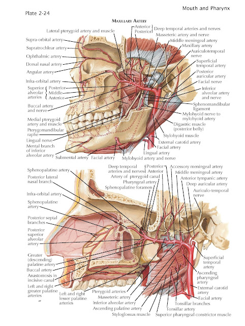 Blood Supply of Mouth and Pharynx