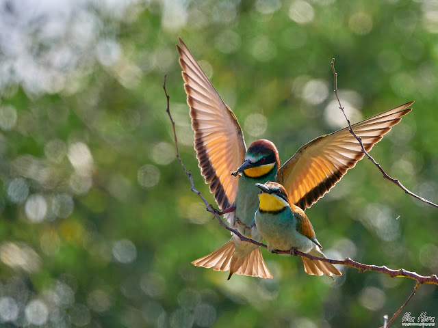 European Bee-Eater Couple