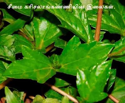 Sphagneticola trilobata leaf