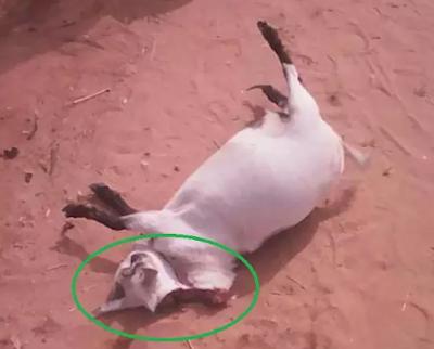 spiritual goat caused accident anambra state