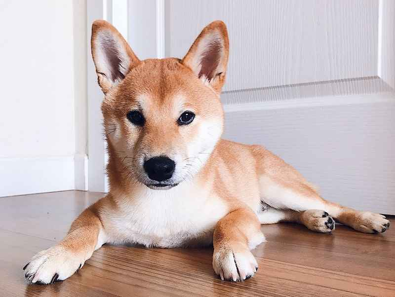 Shiba Inu The Most Popular Dog in Japan