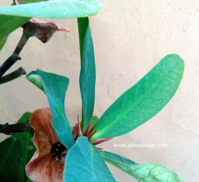 ايفوربيا ميلي Euphorbia milii