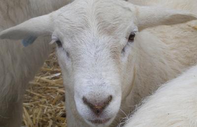 Australian White Sheep Facts, Temperament, Breeding Cycle, Lambing percentage