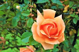 gambar mawar peach