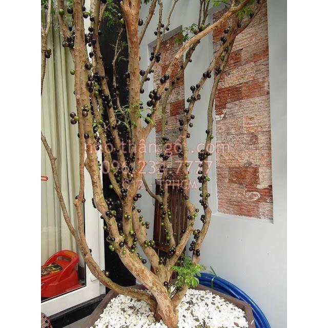 Đăng tin rao vặt: Giá trị phong thủy của cây nho thân gỗ Mua-ban-cay-nho-than-go-tphcm-9