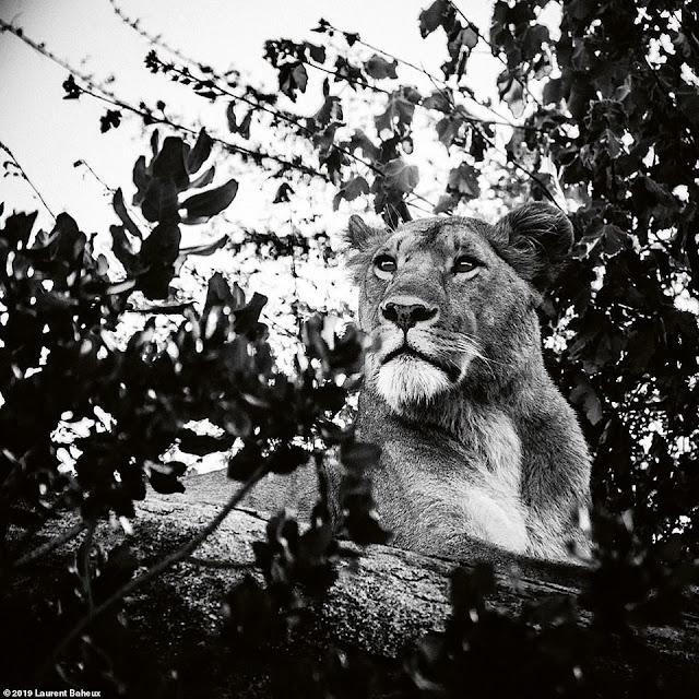 Baheaux có tình yêu rất lớn với sư tử
