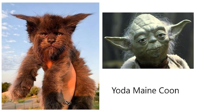 Yoda Maine Coon